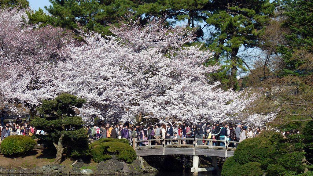 shinjuku gyoen hanami cerisiers tokyo