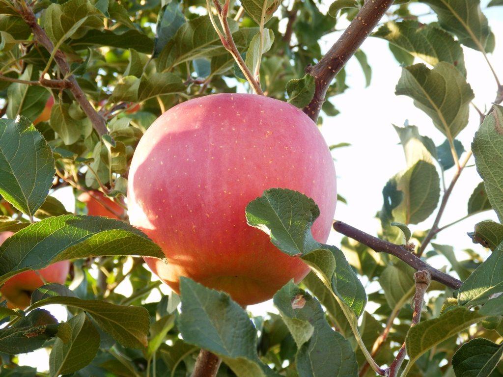 """Puisqu'on vous dit qu'elle est bonne cette pomme d'<a href=""""http://dozodomo.com/bento/2014/01/31/apple-city-hirosaki/"""">Hirosaki</a>"""