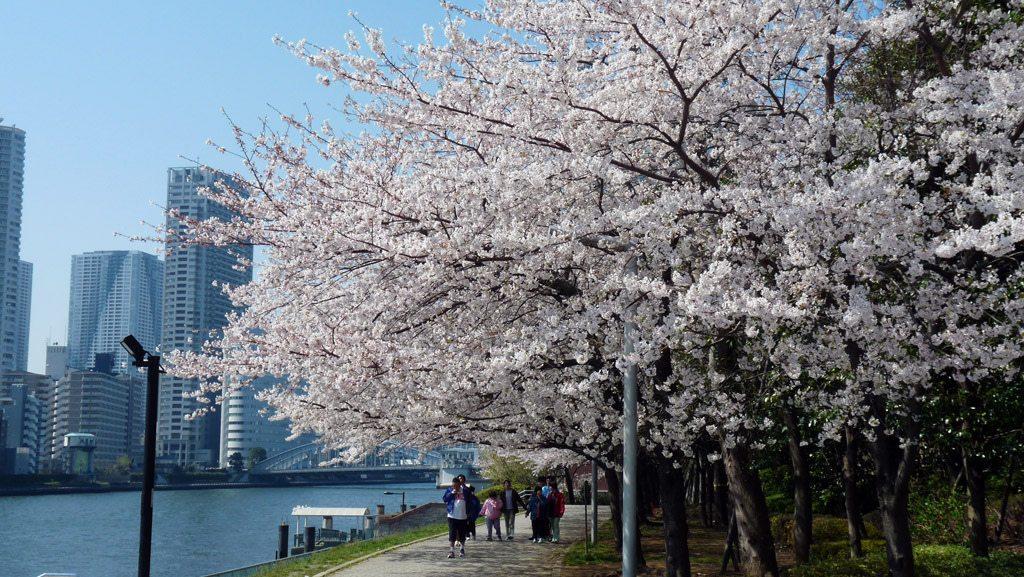 La météo des cerisiers 2015 annoncée