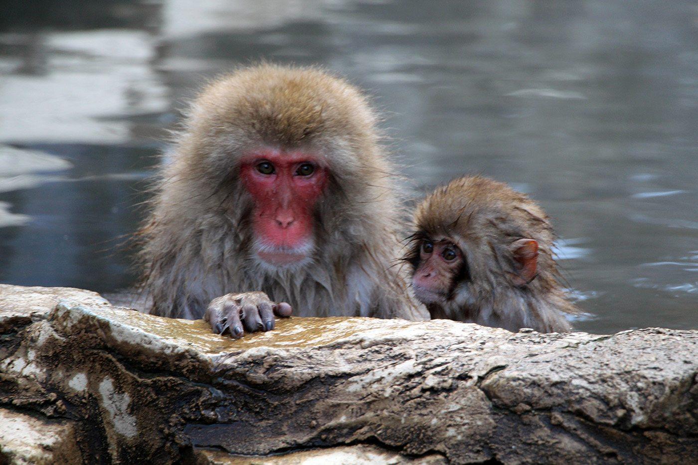 Snow monkey nagano japon
