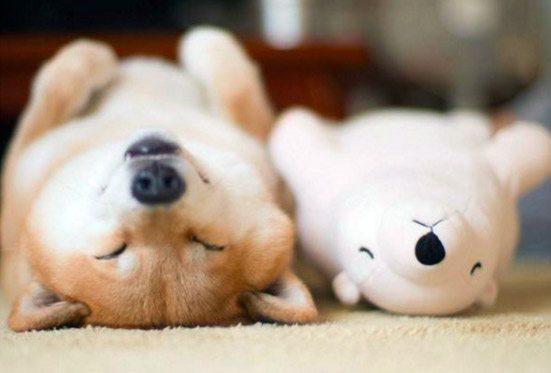 ce chien shiba star des r seaux sociaux japonais adore sa peluche d 39 ours polaire dozodomo. Black Bedroom Furniture Sets. Home Design Ideas