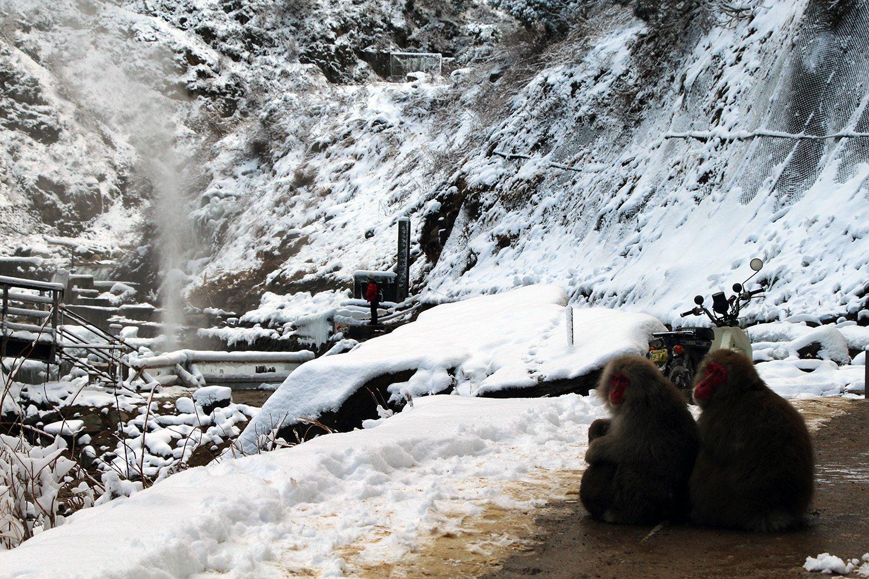 Nagano singes neige snow monkey_22