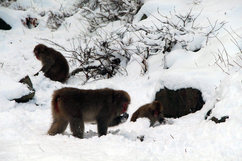 Nagano singes neige snow monkey_26