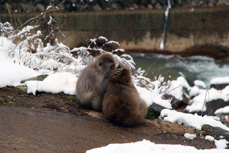 Nagano singes neige snow monkey_28
