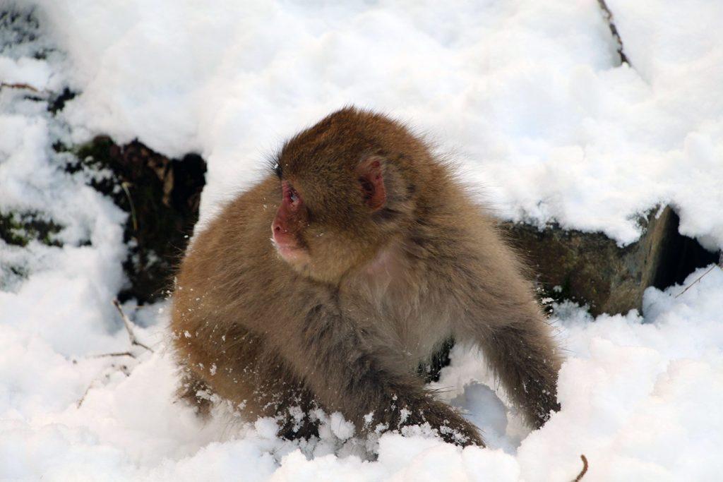 Nagano singes neige snow monkey_29