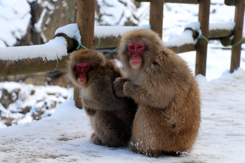 Nagano singes neige snow monkey_30