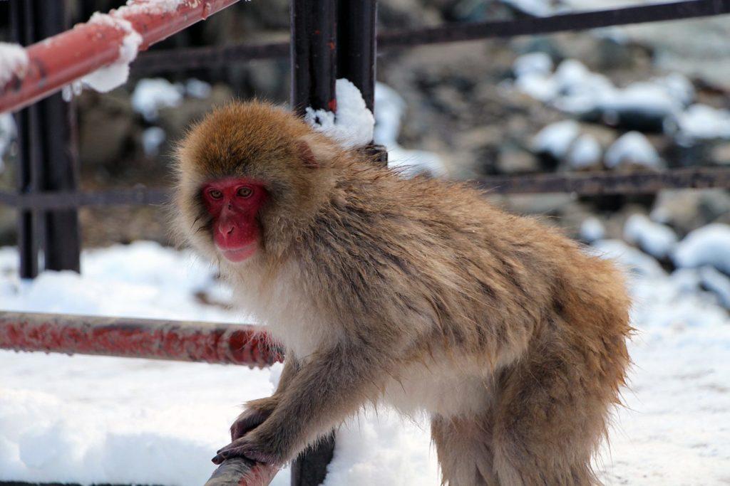 Nagano singes neige snow monkey_31