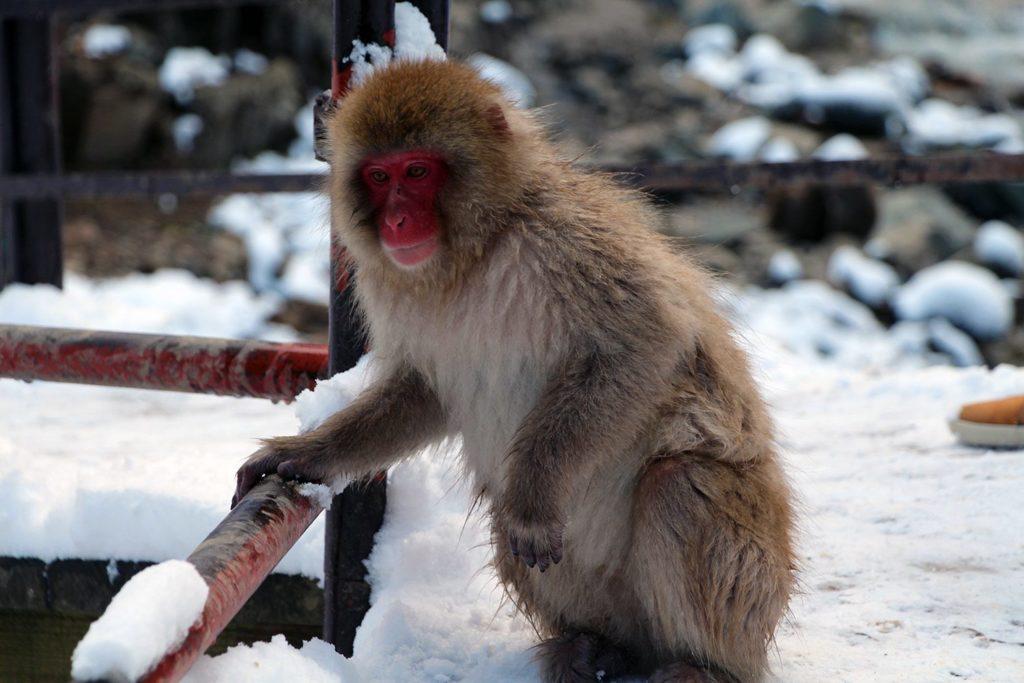 Nagano singes neige snow monkey_32
