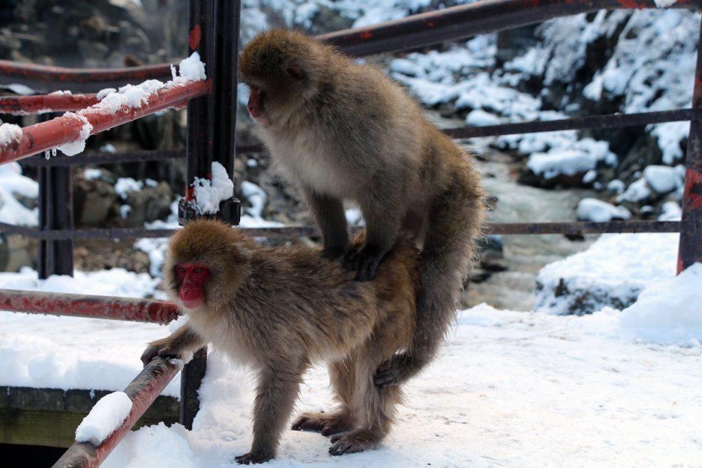 Nagano singes neige snow monkey_33