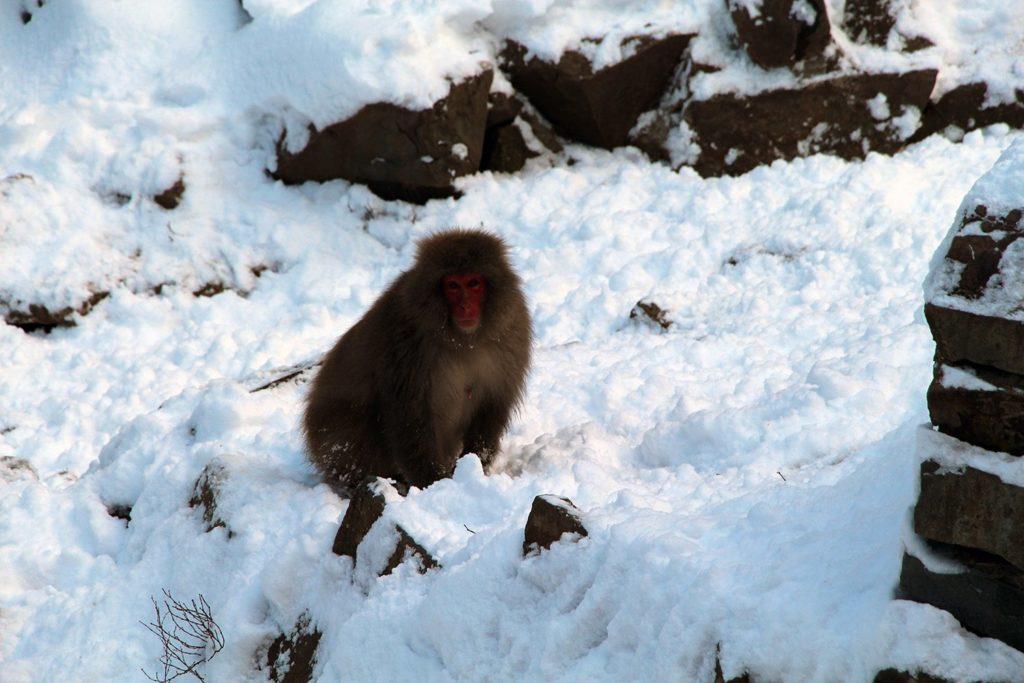 Nagano singes neige snow monkey_37