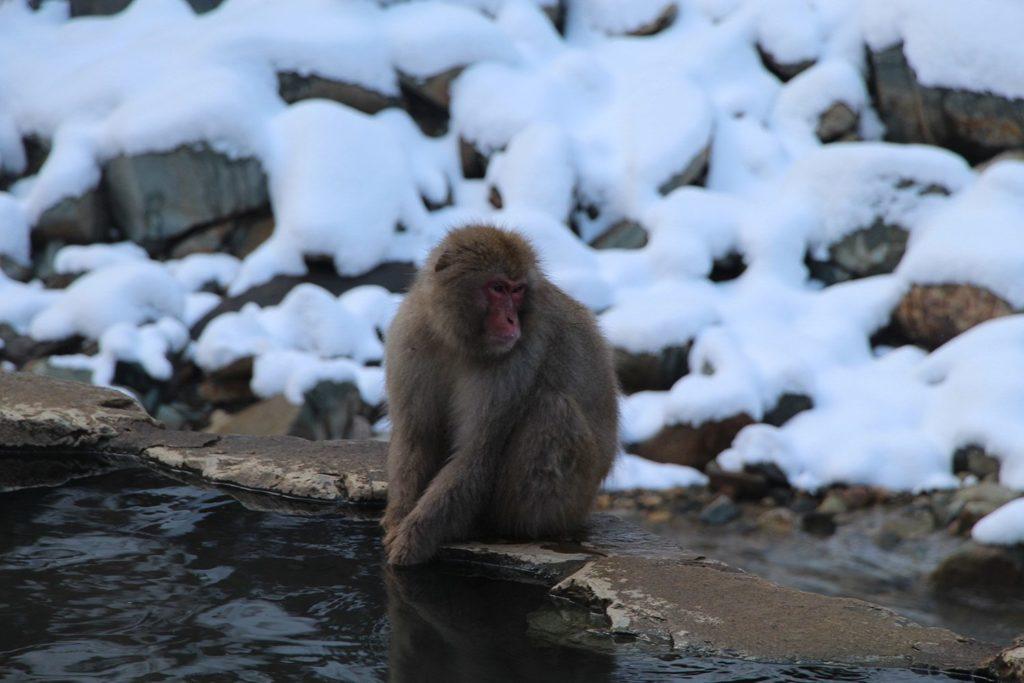 Nagano singes neige snow monkey_38