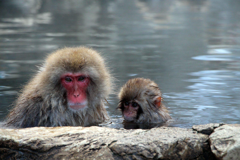 Nagano singes neige snow monkey_39