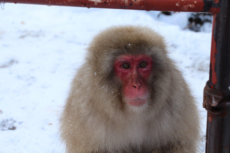 Nagano singes neige snow monkey_48