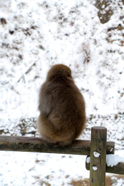 Nagano singes neige snow monkey_49