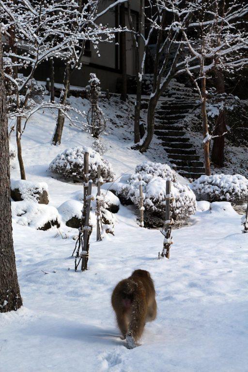 Nagano singes neige snow monkey_5