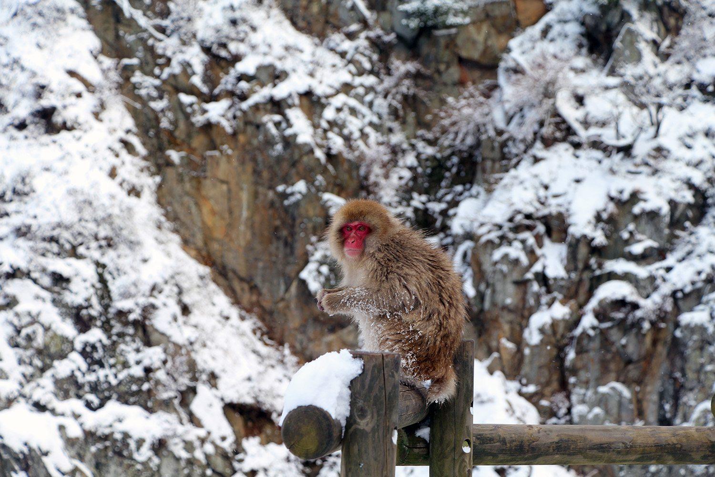 Nagano singes neige snow monkey_50