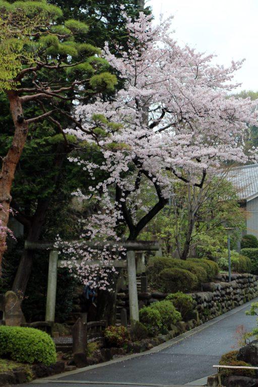 Gokokuji Tokyo Sakura 2016_2
