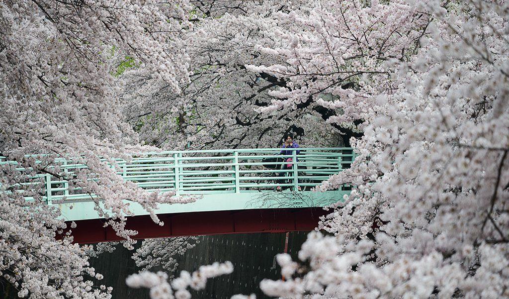 Sakura Guide tokyostreetview_3