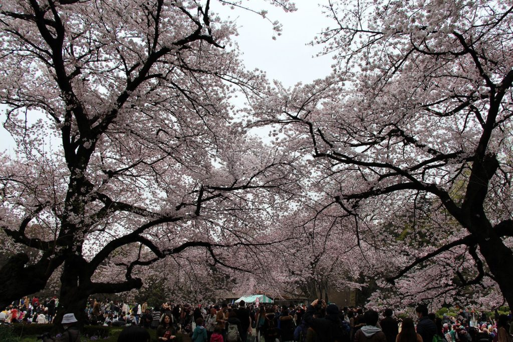 Sakura Tokyo 2016_1