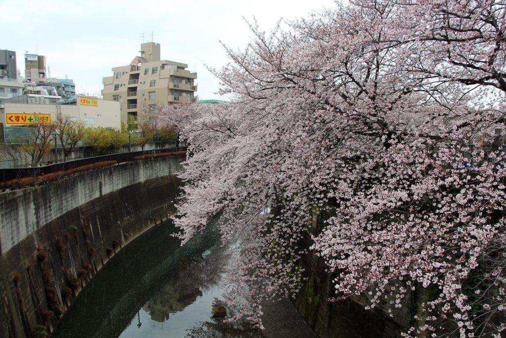 Sakura Tokyo 2016_12