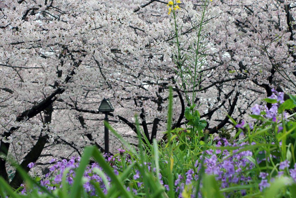 Sakura Tokyo 2016_18