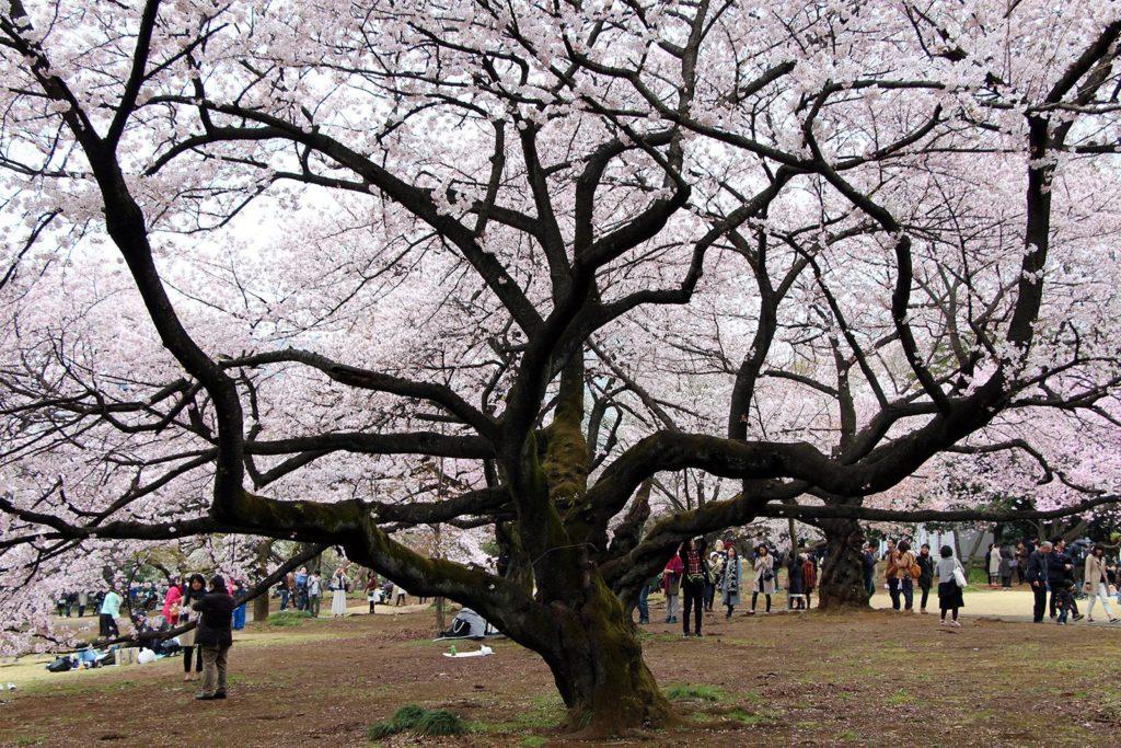Sakura Tokyo 2016_21
