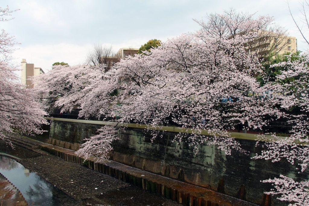 Sakura Tokyo 2016_22