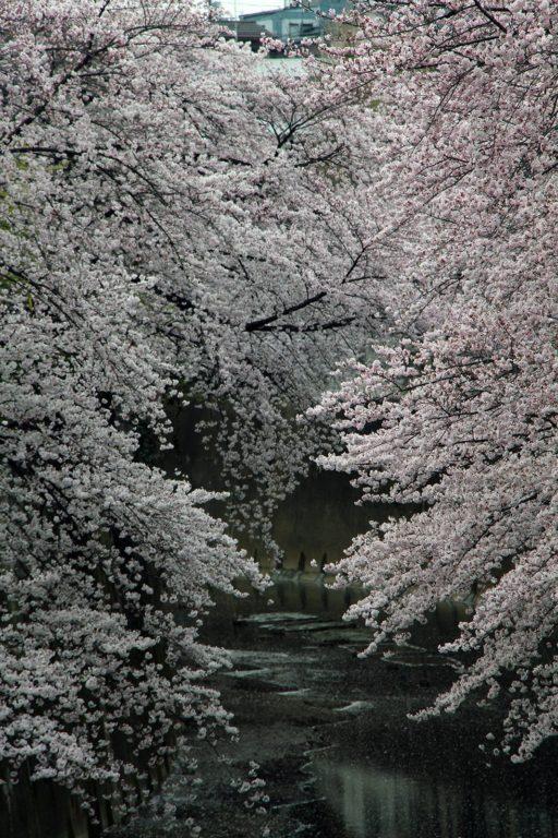 Sakura Tokyo 2016_25