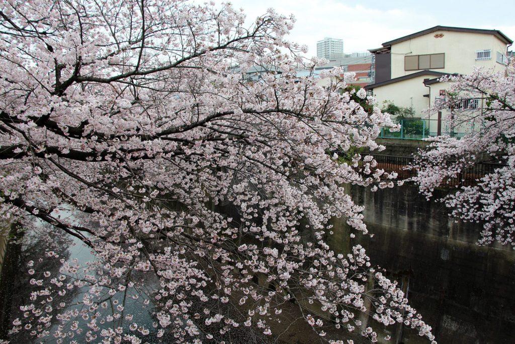 Sakura Tokyo 2016_27