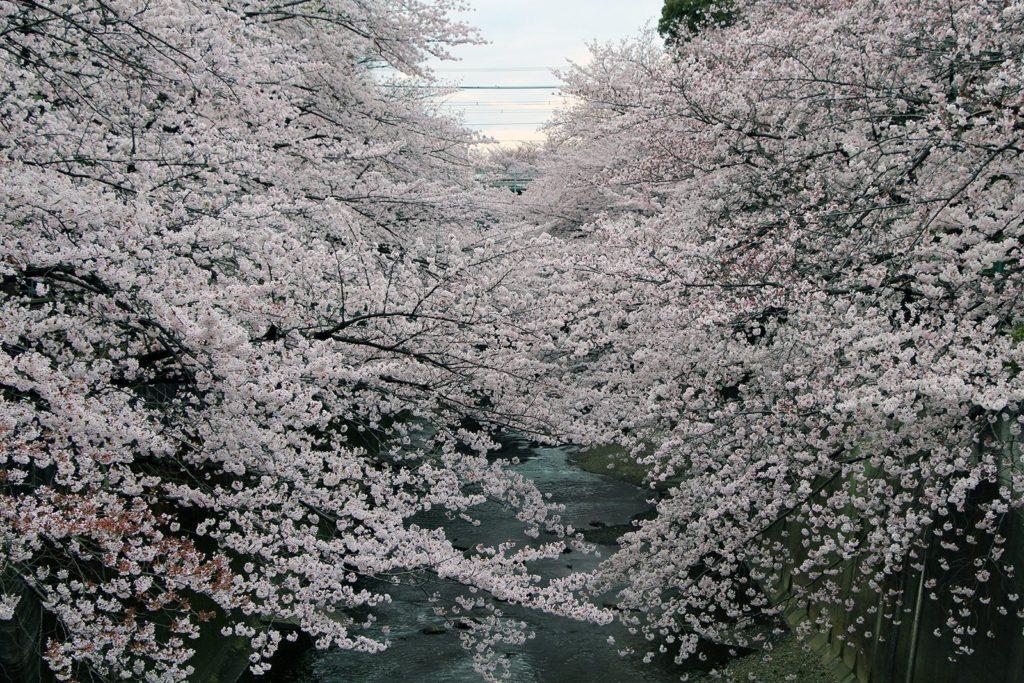 Sakura Tokyo 2016_29