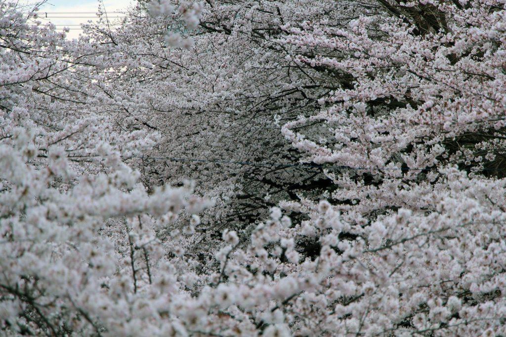 Sakura Tokyo 2016_30