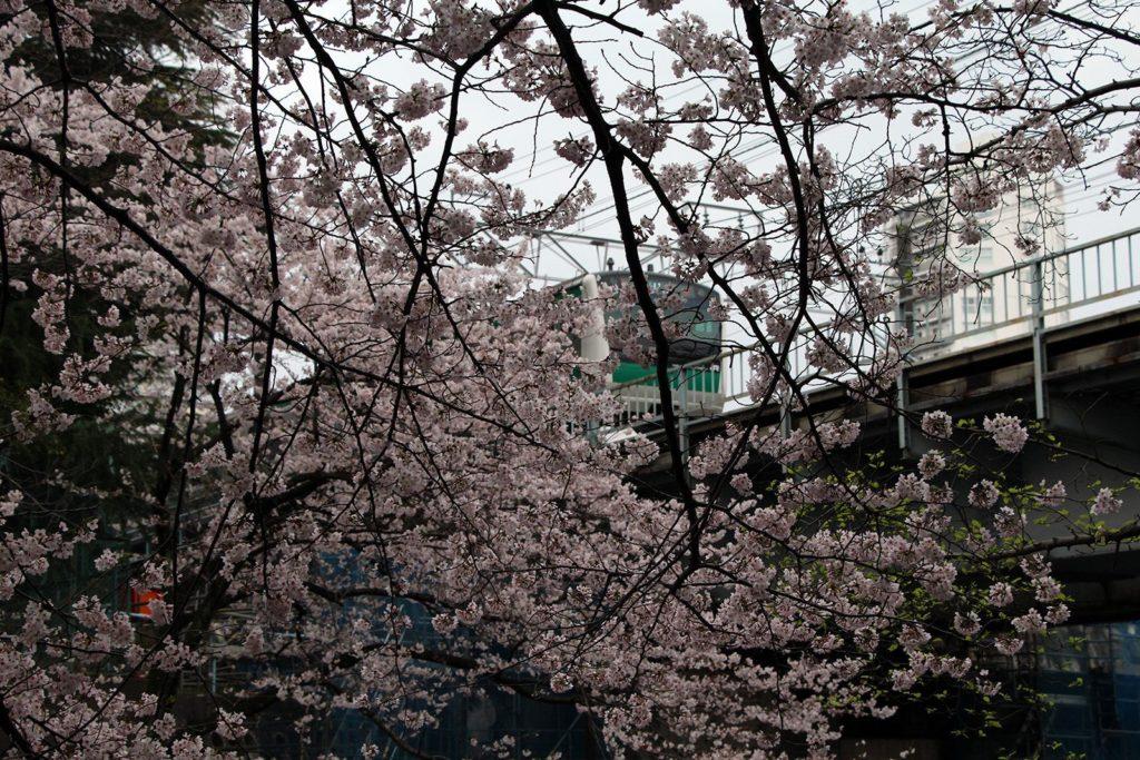 Sakura Tokyo 2016_35