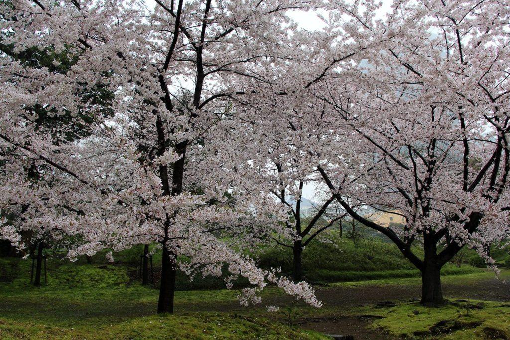 Sakura Tokyo 2016_46