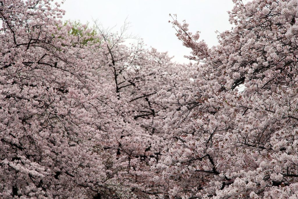 Sakura Tokyo 2016_48
