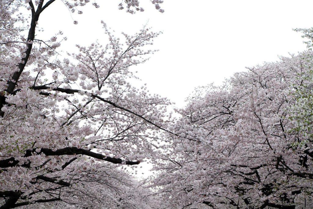 Sakura Tokyo 2016_60
