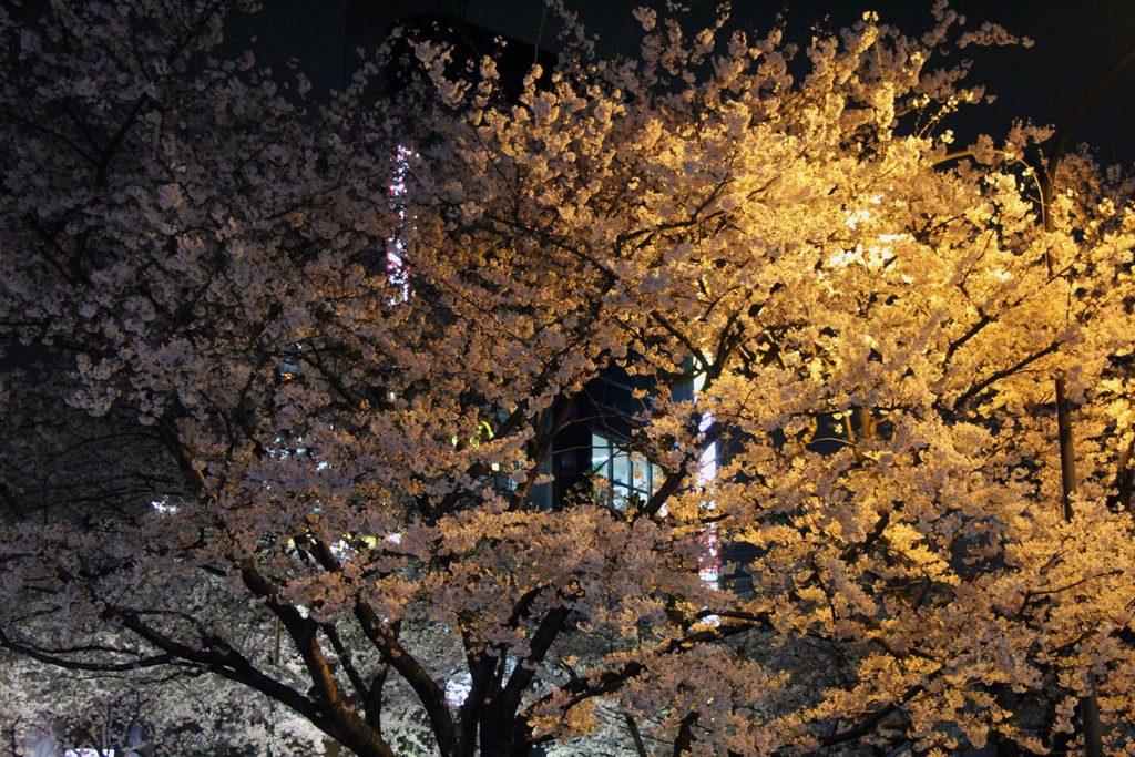 Sakura night Tokyo 2016_1