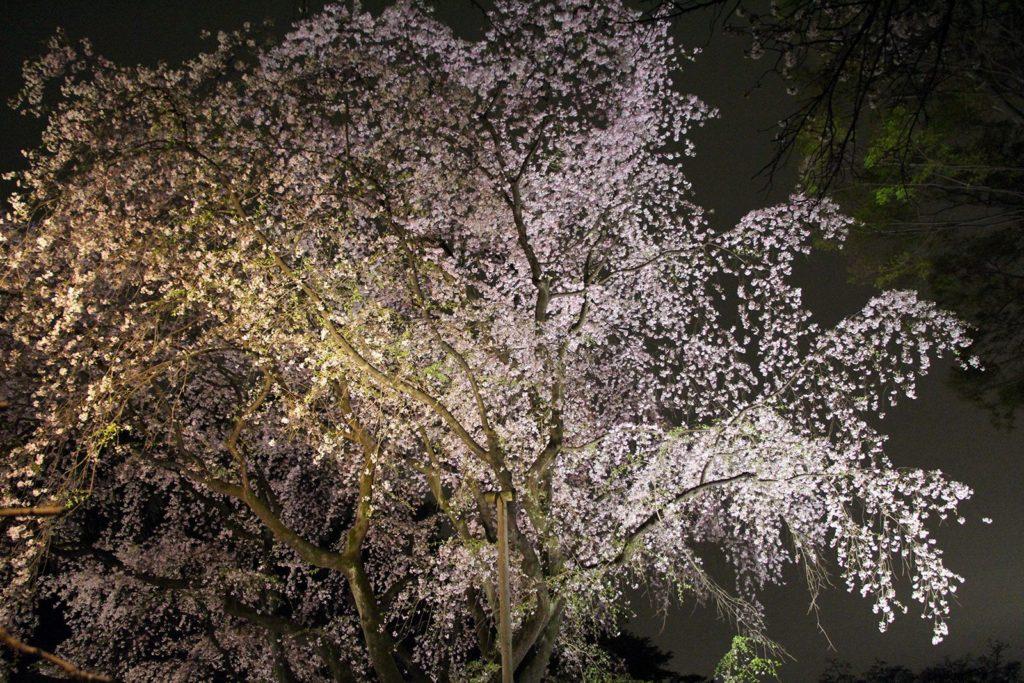 Sakura night Tokyo 2016_2