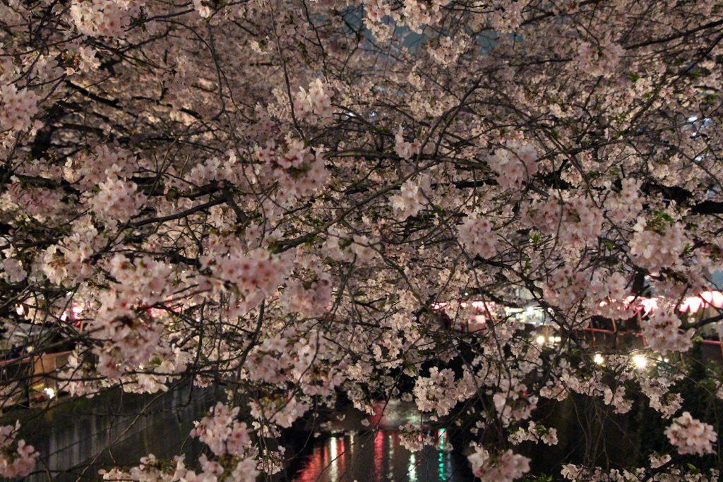 Sakura night Tokyo 2016_21