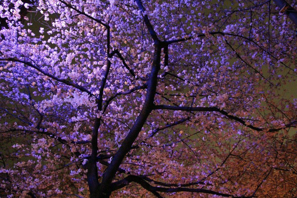 Sakura night Tokyo 2016_24