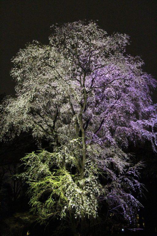 Sakura night Tokyo 2016_4