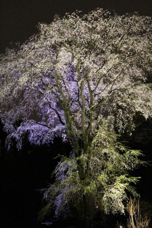 Sakura night Tokyo 2016_6
