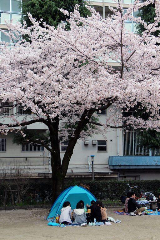Sakura ohanami Tokyo 2016_16