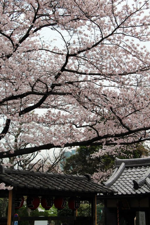 Zojo-ji Tokyo Sakura 2016_20