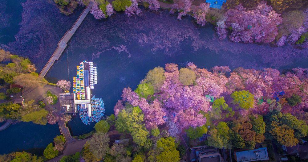 Danilo Dungo cerisiers drone japon_4
