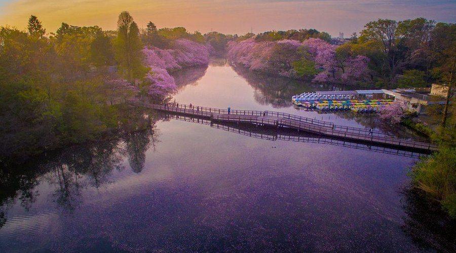 Danilo Dungo cerisiers drone japon_5