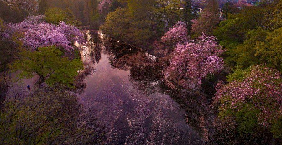 Danilo Dungo cerisiers drone japon_6