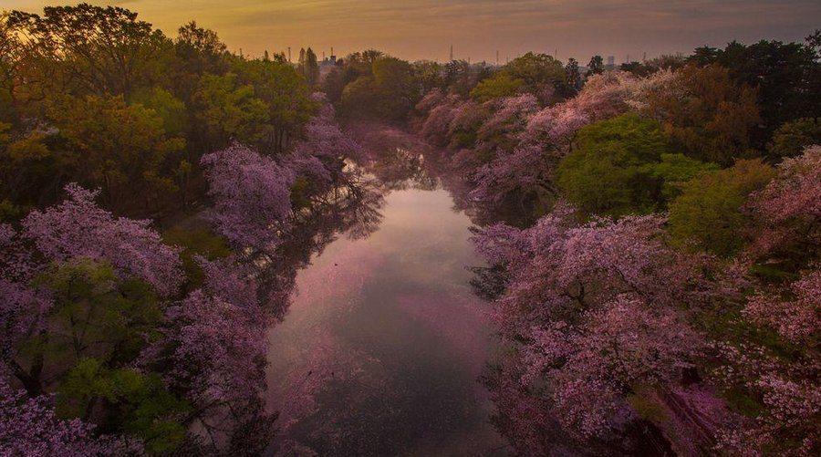 Danilo Dungo cerisiers drone japon_7