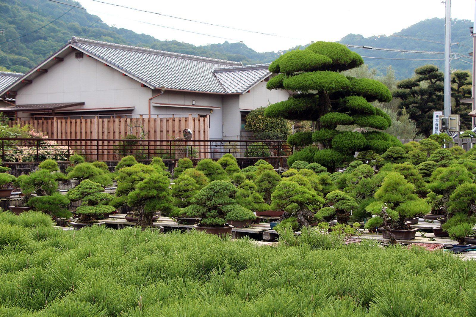 Bonsai kandaka shojuen takamatsu_11