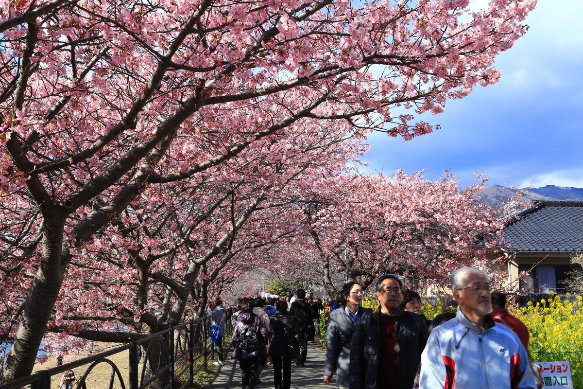 dans une petite ville près de shizuoka, les cerisiers sont déjà en