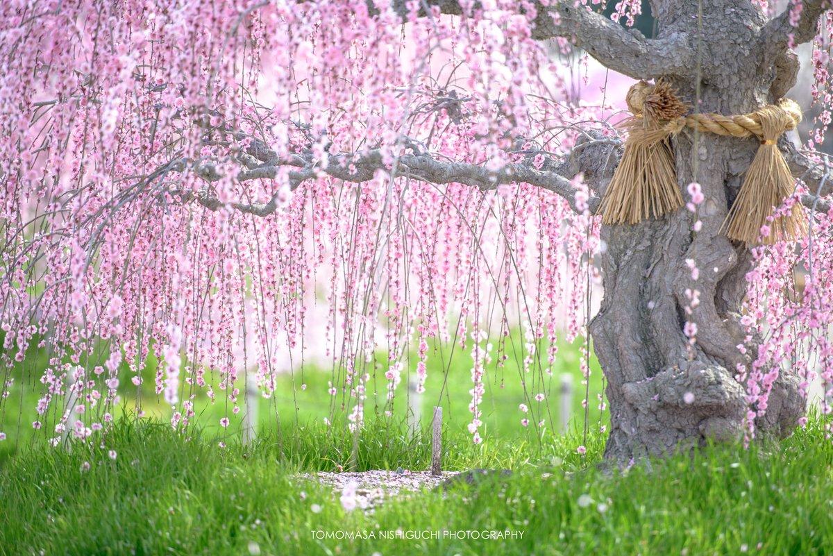 les pruniers en fleurs de suzuka, merveilleux prélude aux